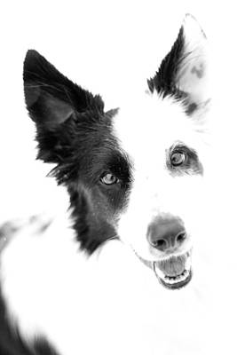 Photograph - Border Collie  by Paulina Szajek