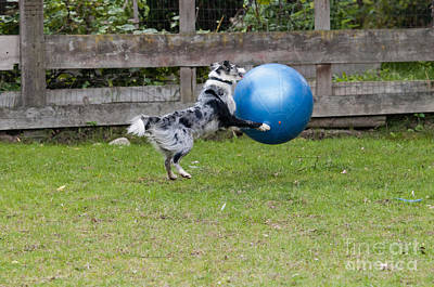 Herding Dog Photograph - Border Collie Playing Catch by William H. Mullins