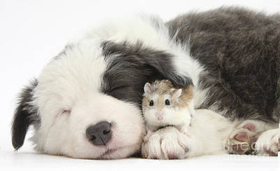 House Pet Photograph - Border Collie Puppy With Roborovski by Mark Taylor
