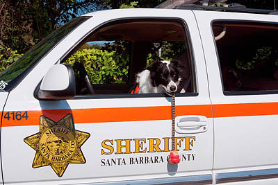 Mischief Photograph - Border Collie Search And Rescue Dog (mr by Zandria Muench Beraldo