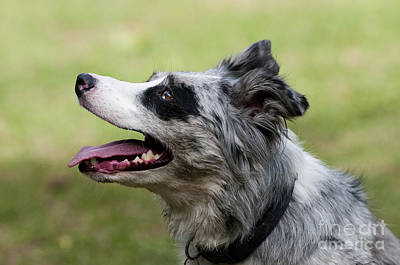 Herding Dog Photograph - Border Collie by William H. Mullins
