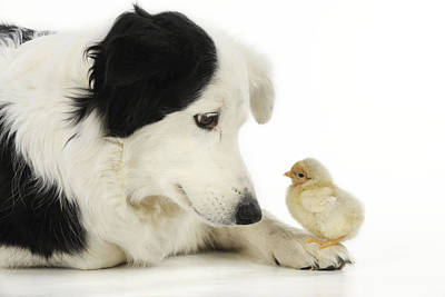 Photograph - Border Collie With Chick by John Daniels