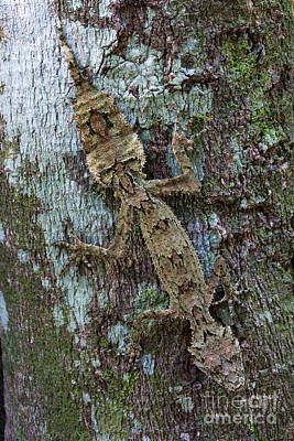 Photograph - Border Ranges Leaf-tailed Gecko by BG Thomson
