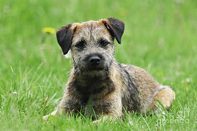 Photograph - Border Terrier Dog Lying In Grass by Dog Photos