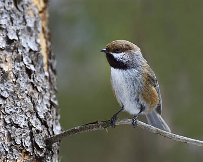 Algonquin Park Northern Ontario Canada Photograph - Boreal Chickadee by Tony Beck