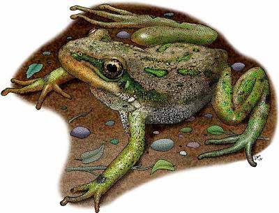 Photograph - Boreal Chorus Frog by Roger Hall