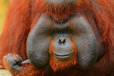 Orangutan Photograph - Bornean Orangutan by Lourry Legarde