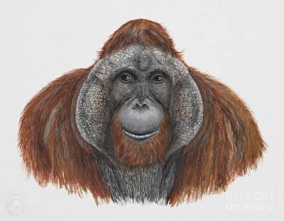 Orangutan Drawing - Bornean Orangutan - Pongo Pygmaeus - Orang-utan - Orango Del Borneo - Orangotango - Borneoranki by Urft Valley Art