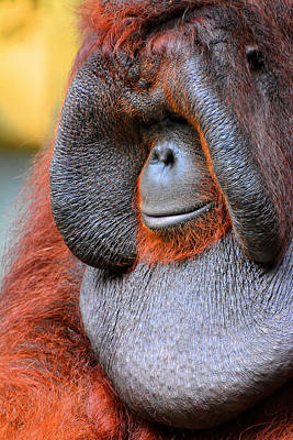 Ape Photograph - Bornean Orangutan Vi by Lourry Legarde