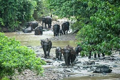 Pygmy Photograph - Bornean Pygmy Elephants by Scubazoo