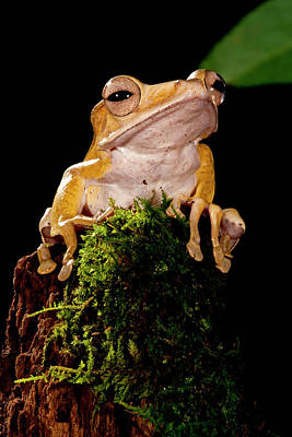 Anuran Photograph - Borneo Eared Frog, Polypedates by David Northcott