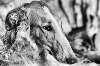 Borzoi Photograph - Borzoi Dog Portrait by Christian Lagereek