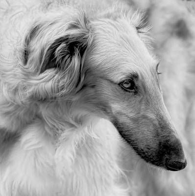 Photograph - Borzoi Head Study by Charles Dana