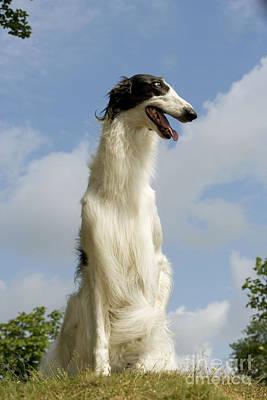 Borzoi Photograph - Borzoi Or Russian Wolfhound by Jean-Michel Labat