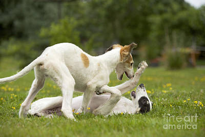 Submissive Photograph - Borzoi Puppies Playing by Jean-Michel Labat