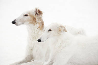Woolf Photograph - Borzoi Sight Hounds by Christian Lagereek