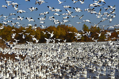 The Flight Of The Snow Geese Photograph - Bosque Del Apache Aka Paradise by Bob Christopher