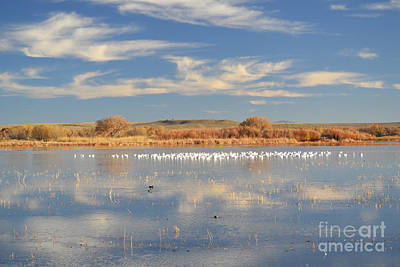 Photograph - Bosque Del Apache Snow Geese Blue Lake by Andrea Hazel Ihlefeld