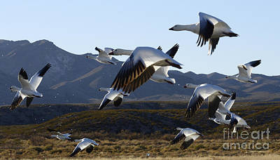 Bosque Del Apache Snow Geese In Flight Art Print by Bob Christopher