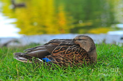 Boston Common Mallard Art Print by Catherine Reusch Daley