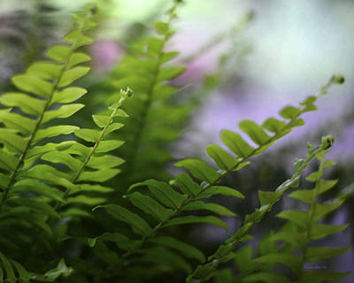 Photograph - Boston Fern With Bokeh by Connie Fox