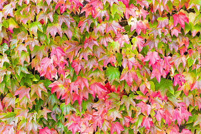 Photograph - Boston Ivy by Semmick Photo