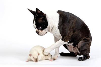 Rat Terrier Photograph - Boston Terrier & Mink Rat by Jean-Michel Labat