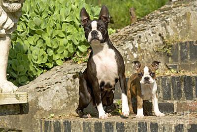 Boston Terrier And Puppy Art Print by Jean-Michel Labat