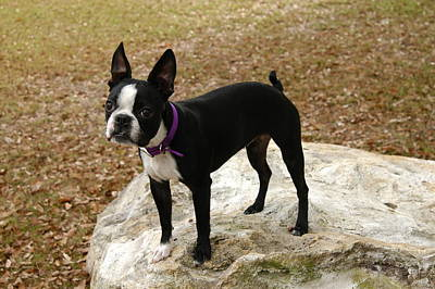 Boston Terrier On The Rock Art Print