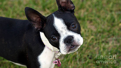 Boston Terrier Mixed Media - Boston Terrier Puppy by Marvin Blaine