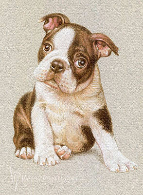 Drawing - Boston Terrier Puppy Portrait by Victor Powell