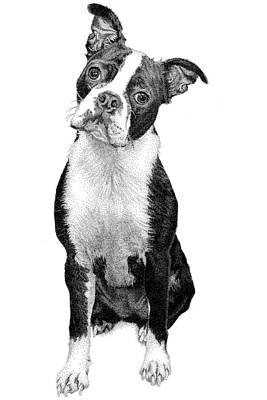 Drawing - Boston Terrier by Rob Christensen