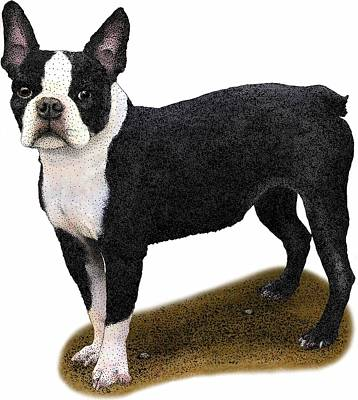 Photograph - Boston Terrier by Roger Hall