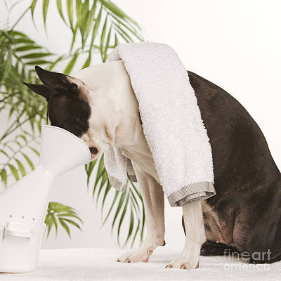 Pet Therapy Photograph - Boston Terrier Steam Therapy by Jean-Michel Labat