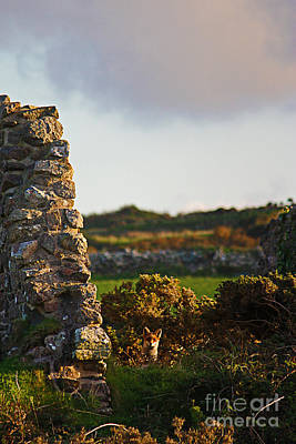 Photograph - Botallack Fox At Sunset by Terri Waters