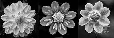 Photograph - Botanical Blooms In Black And White by Sonya Lang