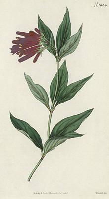 Botanical Engraving Art Print by English School