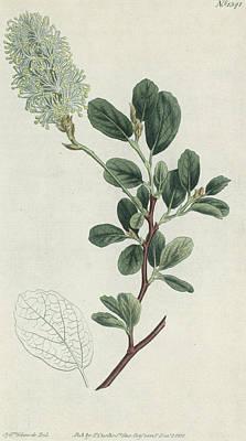 Botanical Engraving Art Print by Sydenham Teast Edwards