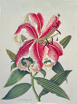 Lilies Drawing - Botanical Lily by Lillian Delevoryas