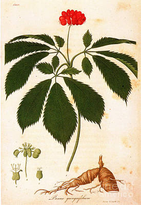 Botany: Ginseng Art Print by Granger