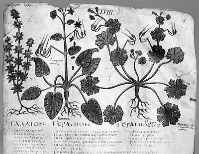 7th Century Painting - Botany Herbal Plants by Granger