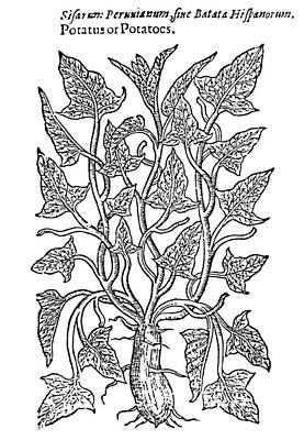 Potato Drawing - Botany Sweet Potato, 1597 by Granger