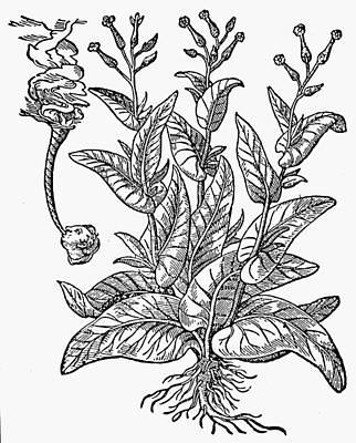 Botany Tobacco, 1576 Art Print by Granger