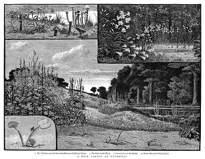 Pitcher Painting - Botany Wild Garden, 1885 by Granger
