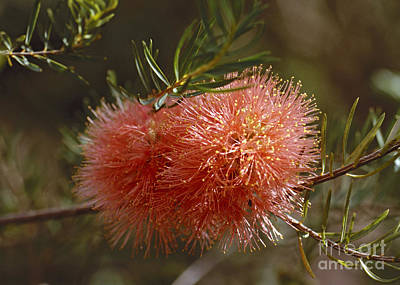 Photograph - bottle brush Australia 1 by Rudi Prott