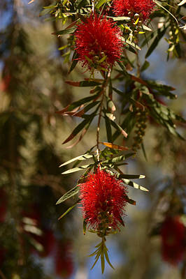 Red Photograph - Bottle Brush Tree by Michael McGowan