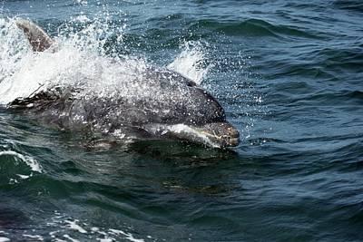 Bottlenose Dolphin Photograph - Bottlenose Dolphin by Simon Booth