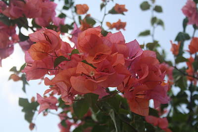Photograph - Bougainvillea At Daybreak by Tracey Harrington-Simpson