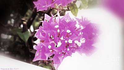 Photograph - Bougainvillea Bloom by Gena Weiser