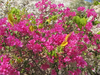 Photograph - Bougainvillea Celebration by Esther Newman-Cohen